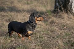 Autumn portrait of a dog dachshund black tan, standing on yello grass. Autumn portrait of a dog dachshund black tan, standing in full length on yello grass royalty free stock photos