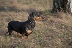 Autumn portrait of a dog dachshund black tan, standing on yello grass royalty free stock photo