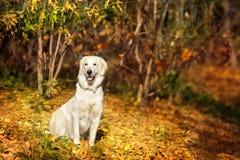 Autumn portrait of golden retriever Stock Photography