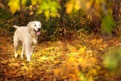 Autumn portrait of golden retriever Stock Image