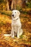 Autumn portrait of golden retriever Royalty Free Stock Photos
