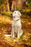 Autumn portrait of golden retriever Royalty Free Stock Images