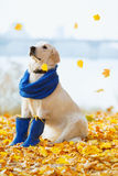 Autumn portrait of golden retriever junior Royalty Free Stock Photo