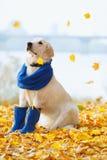 Autumn portrait of golden retriever junior Royalty Free Stock Photo