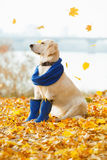 Autumn portrait of golden retriever junior Royalty Free Stock Photography