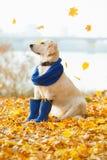 Autumn portrait of golden retriever junior Royalty Free Stock Photography