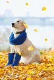 Autumn portrait of golden retriever junior Stock Image