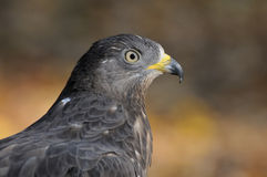 Autumn portrait of Honey Buzzard royalty free stock image