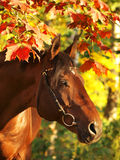 Autumn portrait of the horse Stock Images