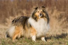 Autumn portrait of sheltie collie Stock Photos