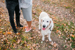 Autumn portrait of white retriever groun-up lying in yellow leaves. background loving couple Stock Image