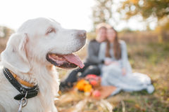 Autumn portrait of white retriever groun-up lying in yellow leaves. background loving couple Royalty Free Stock Photography
