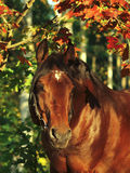 Autumn portrait of wonderful  bay horse Stock Photography