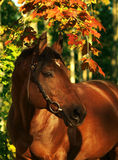 Autumn portrait of wonderful  bay horse Stock Images