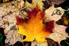 Autumn presence in leaves. Colorful leaves and rain fall in autumn Stock Image