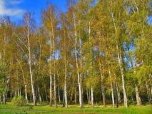 Autumn Preshpect del lado - árboles de abedul en el viento, Yasnaya Polyana, Tula, Rusia Imagenes de archivo