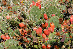 Autumn Prickly Pear Stock Image