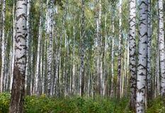 Autumn primeval birch`s fores Stock Photos