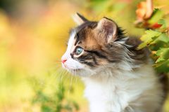 Autumn profile portrait of a cute little fluffy kitten climbing on a tree branch in the nature Royalty Free Stock Images