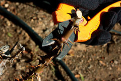 Autumn Pruning Stock Photography