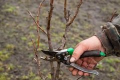 Autumn pruning of trees, the guy cuts with a shears a branch of a pear in the garden royalty free stock photography