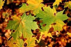 autumn pulchna Zdjęcia Royalty Free