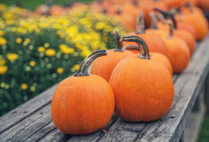 Autumn Pumpkins Images libres de droits
