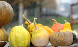 Autumn pumpkins. Beautiful colorful splendor of autumn pumpkins  shown Stock Image