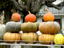 Autumn pumpkins. Beautiful colorful splendor of autumn pumpkins  shown Royalty Free Stock Photos