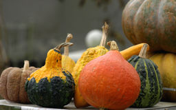Autumn pumpkins. Beautiful colorful splendor of autumn pumpkins  shown Royalty Free Stock Photography