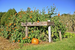 Autumn pumpkins and corn. The orange pumpkins, corn shocks, and straw bales are the colors of the fall season Stock Photo