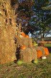 Autumn pumpkins  and corn shocks Stock Photo