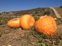 Autumn Pumpkins Field Royalty Free Stock Photo