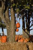 Autumn pumpkins and straw bales. The orange pumpkins, corn shocks, and straw bales are the colors of the fall season Stock Photos