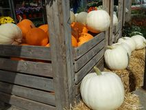 Autumn Pumpkins, Straw and Mums. White Ghost pumpkins with traditional orange pumpkins at a garden center or farmers market with bales of hay and flowers royalty free stock photos