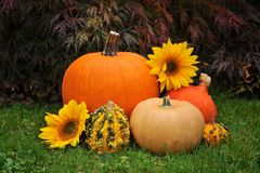 Autumn pumpkins and sunflower Royalty Free Stock Images