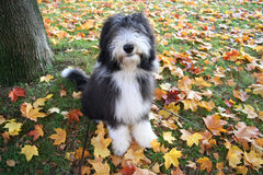 Autumn puppy. Cute bearded collie puppy among the autum leaves Stock Photos