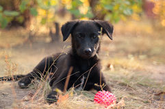 An autumn puppy. Nice little puppy outdoors in autumn with a rubber ball surrounded by leaves Stock Image