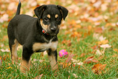 Autumn Puppy. Adorable little puppy outdoors in autumn surrounded by leaves Royalty Free Stock Photo