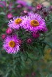 Autumn purple chrysanthemum flower close-up Stock Photos