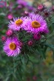 Autumn purple chrysanthemum flower close-up. Nice autumn purple chrysanthemum flower close-up Stock Photos