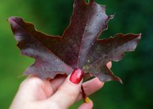 Autumn purple leaf in hand royalty free stock photos