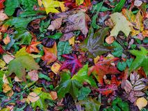 Autumn puzzle. Colorful leaves lying on the grass like a beautiful puzzle Stock Photo