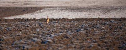 Autumn rabbit Stock Images
