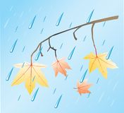 Autumn rain. And colored maple leafs on branches Royalty Free Stock Images