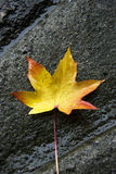Autumn rain. Autumn leaf in a raining day royalty free stock photography