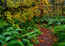 Autumn Rain Forest. Hiking trail in the old growth forest in the fall at Delta Campground near Blue River, OR stock photography