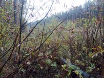 Autumn rain in the forest mountain ash Bush stock image