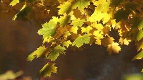 Autumn rays of sun illuminates yellow maple leaves stock footage