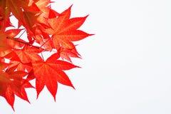 Autumn rea maple leaves. Stock Images